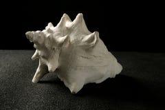 Shell del blanco del caracol de mar de la concha Imagen de archivo libre de regalías