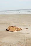 Shell del cangrejo de herradura Fotos de archivo