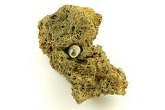 Shell del caracol dentro de la piedra volcánica Foto de archivo libre de regalías