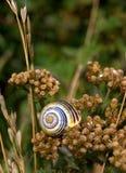 Shell del caracol en la milenrama descolorada Foto de archivo libre de regalías
