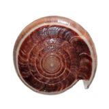 Shell del figulinus del cono isolato su bianco Fotografia Stock Libera da Diritti