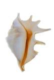 Shell del mar. Imagen de archivo libre de regalías