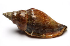 Shell del mar Imágenes de archivo libres de regalías