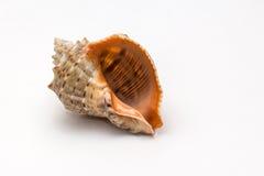 Shell del mar Imagen de archivo