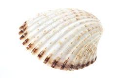 Shell del mar aislado Foto de archivo