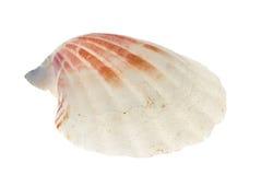 Shell del mar aislado Imagenes de archivo