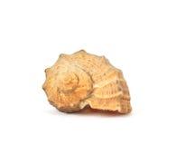 Shell del mar aislado en blanco Fotos de archivo libres de regalías