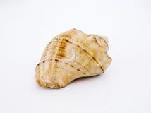 Shell del mar del Concha Foto de archivo