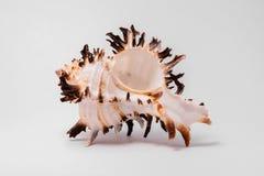Shell del mar en el fondo blanco Fotos de archivo