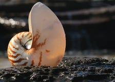 Shell del nautilus Fotografía de archivo