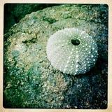 Shell del pilluelo de mar Fotos de archivo
