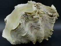 Shell der riesigen Muschel lizenzfreie stockbilder