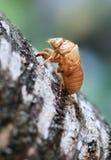 Shell der Zikade nachdem dem Mausern Stockbilder