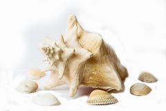 Shell do ‹do †do ‹do †do mar Foto de Stock Royalty Free