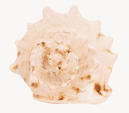 Shell do búzio Fotografia de Stock