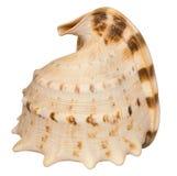 Shell do búzio Imagens de Stock