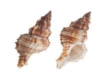 Shell do búzio no fundo branco Foto de Stock Royalty Free