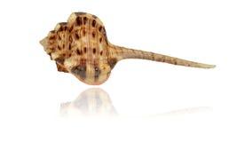 Shell do lat do Murex da galinhola do molusco do mar Haustellum do Haustellum Fotos de Stock Royalty Free