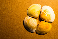 Shell do mar Foto de Stock Royalty Free
