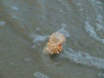Shell do mar Báltico Fotos de Stock