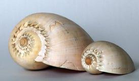 Shell do mar, broderipi de Melocorona do melo Foto de Stock
