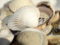 Shell do Mar do Norte Fotografia de Stock