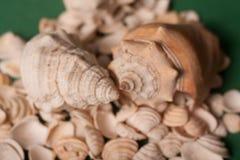 Shell do mar em um fundo verde imagem de stock royalty free
