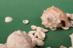 Shell do mar em um fundo verde fotografia de stock royalty free
