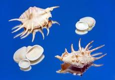 Shell do mar, espelho, reflexão Foto de Stock
