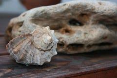 Shell do molusco Imagens de Stock