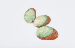 Shell do olmo Imagem de Stock Royalty Free