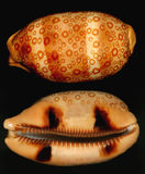 Shell doted agradable del caracol Imagen de archivo libre de regalías