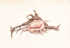 Shell and dry root watercolor painting Royalty Free Stock Photography