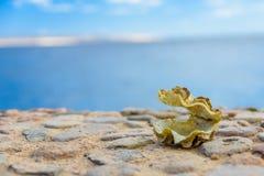 Shell du mollusque de tridacna La Mer Rouge sur le fond photos stock