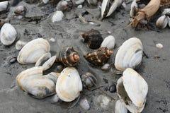 Shell e caracóis marinhos após a tempestade na praia Foto de Stock