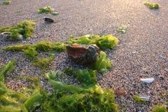 Shell ed alghe verdi sulla spiaggia immagini stock