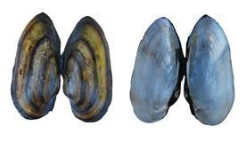 Shell eines Flussmolluske Unio Lizenzfreies Stockfoto