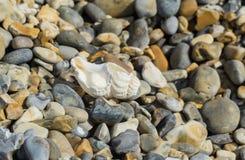 Shell em uma praia de pedra em Norfolk Imagem de Stock
