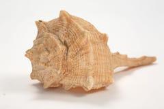Shell en blanco imagen de archivo libre de regalías