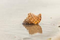 Shell en una playa arenosa Imagenes de archivo