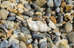 Shell en una playa de piedra en Norfolk Imagen de archivo