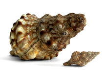 Shell enorme del mar Fotografía de archivo libre de regalías