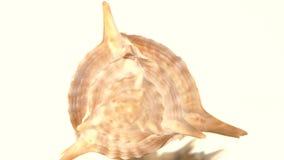 Shell espinhoso do mar no branco, rotação, reflexão filme