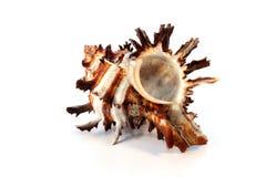 Shell espinoso del Murex Foto de archivo libre de regalías