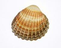 Shell exótico Imagen de archivo