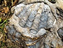 Shell-fossielen op rots Royalty-vrije Stock Fotografie