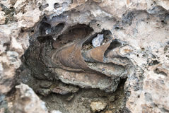 Shell fossil Stock Photography