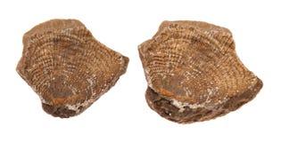 Shell fossil på vit bakgrund Arkivfoton