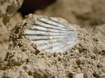 Shell fossil Royalty Free Stock Photography