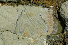 Shell fossils on a rock formation,  Kaikoura coastline Stock Images
